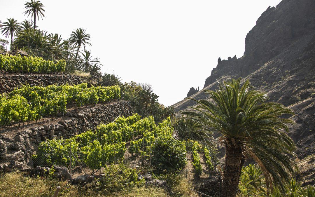 Los vinos de La Gomera a examen en la Universidad de La Laguna